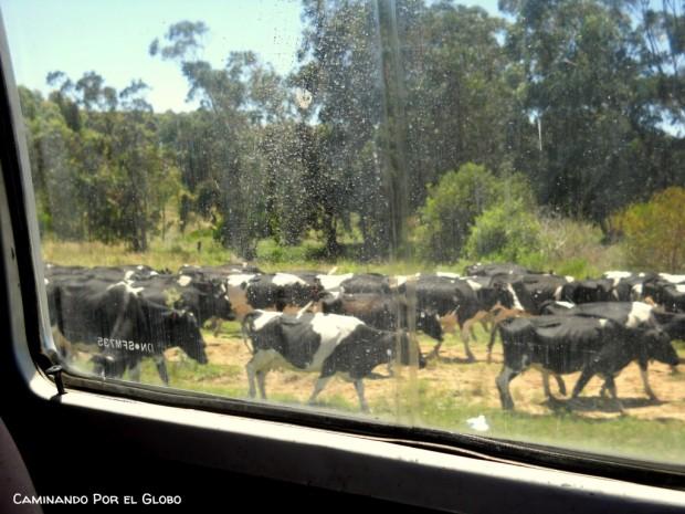 Vacas Uruguay